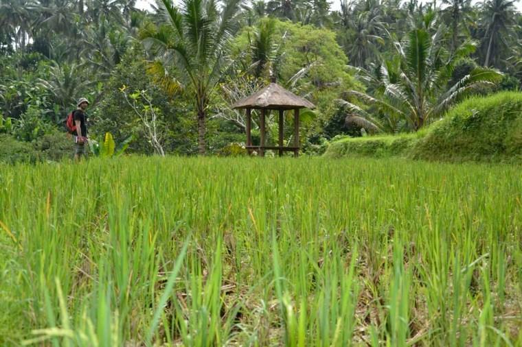 Paseo por arrozales